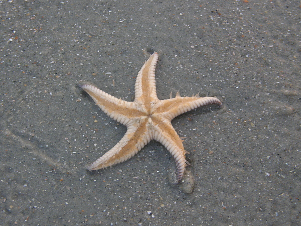 Starfish on Pawleys Island