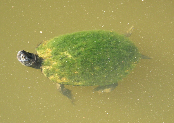 Green furry turtle, Waccamaw River, SC