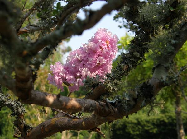 Pink blossom, Murrells Inlet, SC