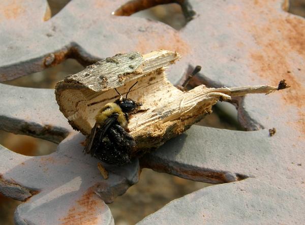 Eastern carpenter bee, Florence, Alabama.