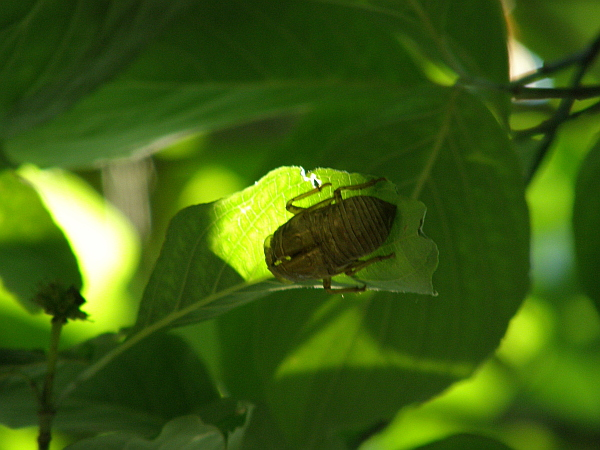 Cicada skin, Florence, Alabama