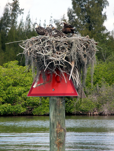 Osprey nest on top of red channel marker 88