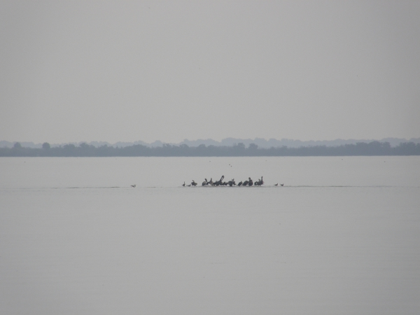 Blurry photo of pelicans in dreamlike seascape