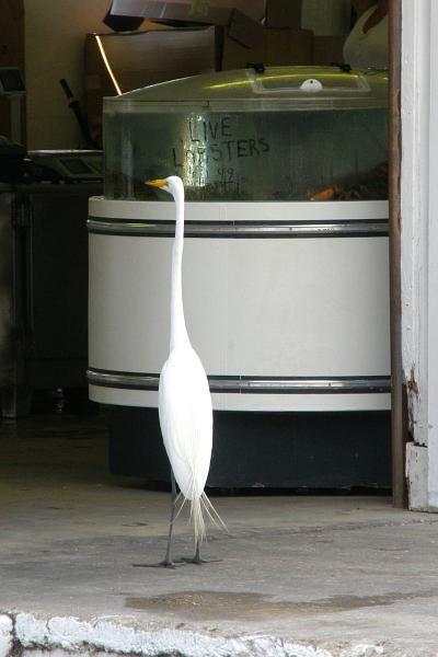 Egret ogling live lobster tank.
