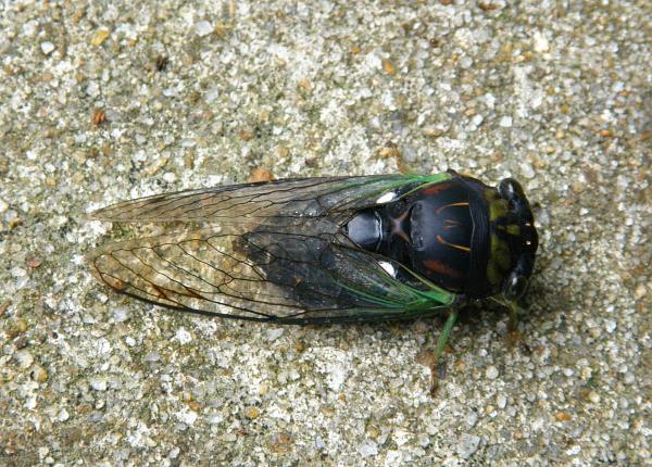 Cicada on pavement in Murrells Inlet, SC