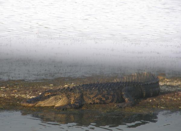 Alligator at Huntington Beach State Park, SC
