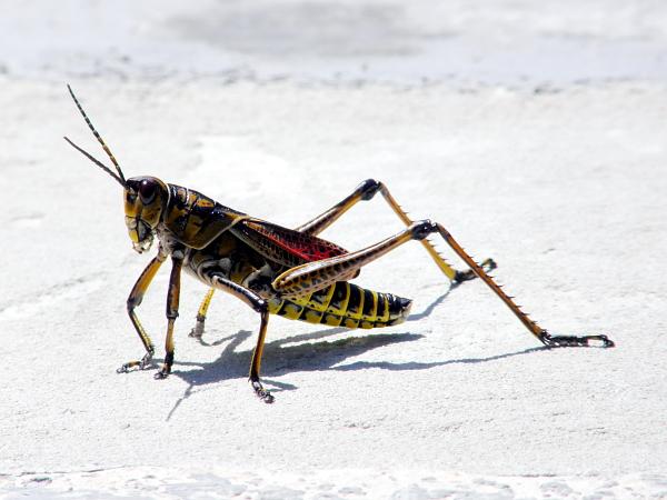 Brightly colored grasshopper