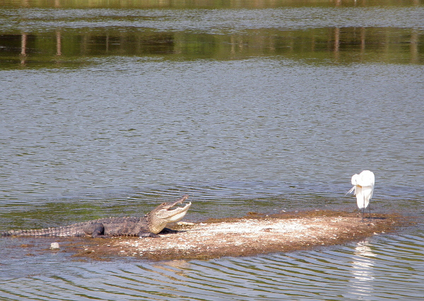 Alligator and egret at Huntington Beach State Park, SC