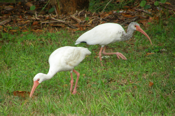 Ibis at the park in Key Largo