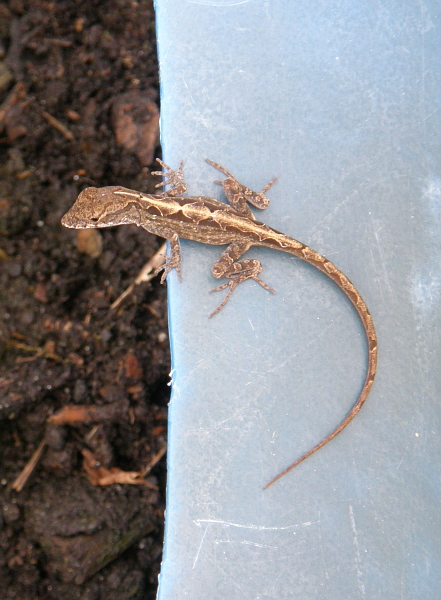 Gecko on plastic planter