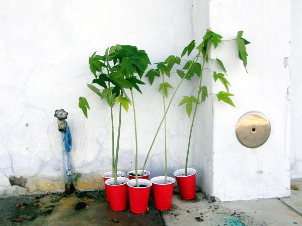 Papaya tree shoots in red plastic cups