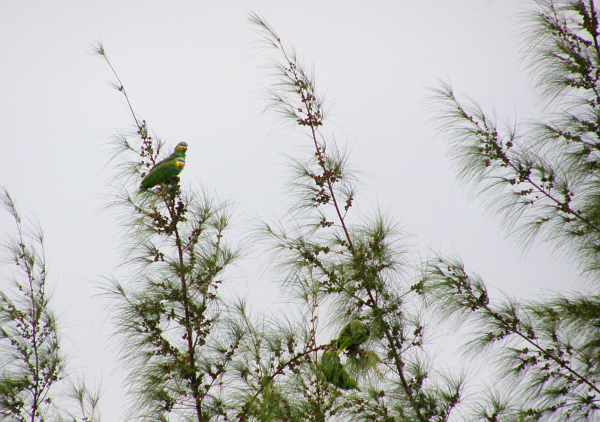 Green parrots in a pine tree top.