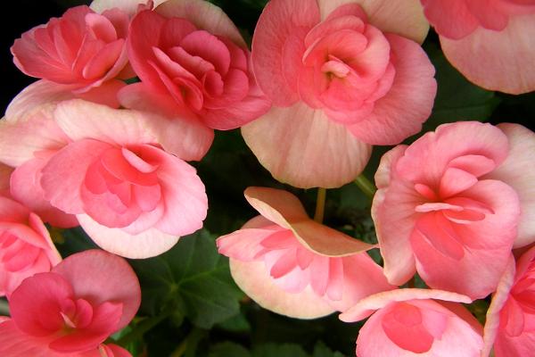 Pastel pink flowers.