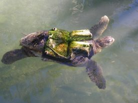Today's inlet: Turtle safety.
