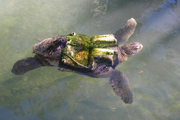 Turtle wearing life vest
