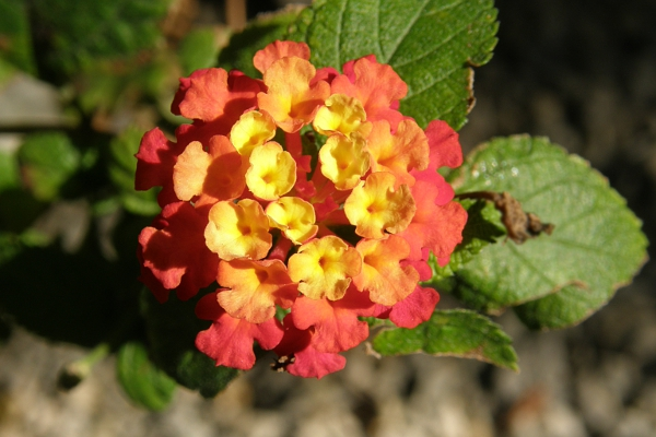 Yellow, orange, red variegated flower.