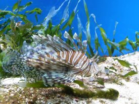 Today's inlet: Lionfish.