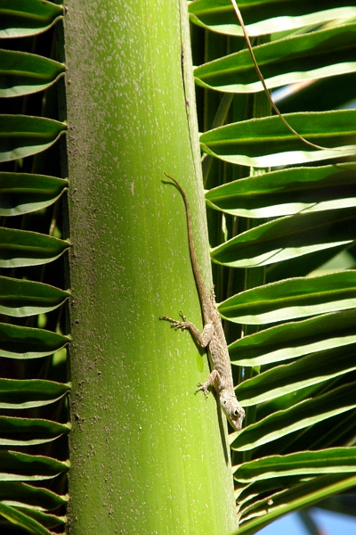 Gecko in palm tree