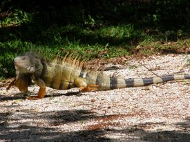 Today's inlet: Iguana 3.