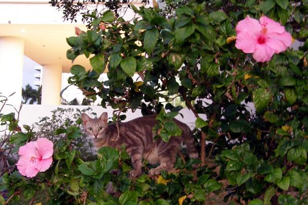 Cat in large hibiscus.