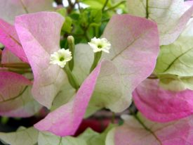 Today's inlet: Bougainvillea.