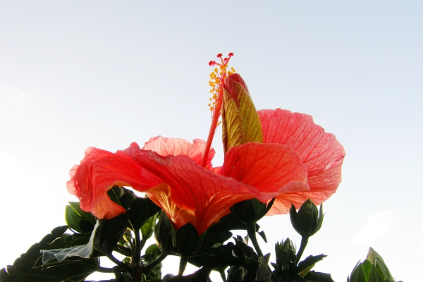 Blooming hibiscus wrapped around hibiscus bud.