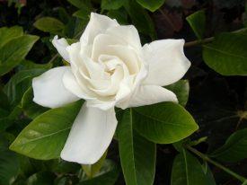 Today's inlet: Gardenia.