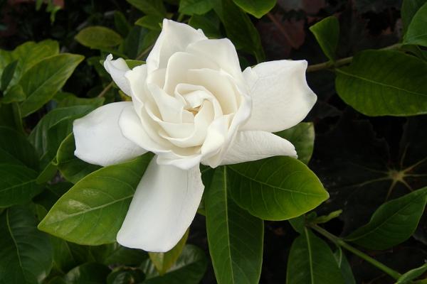 Gardenia flower.
