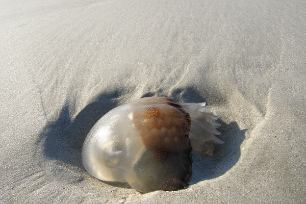 Today's inlet: Jellyfish.