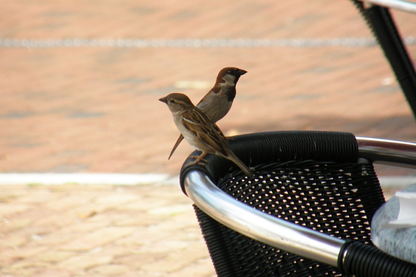 Sparrows on chair back at Deli Lane restaurant.