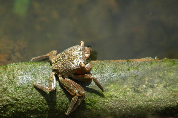 Crab on algae-covered bottom rung of dock ladder.