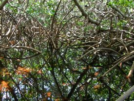 Today's inlet: Mangroves.