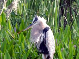 Today's inlet: Heron