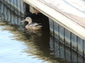 Today's inlet: Duck 2.