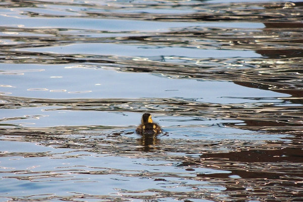 Lone duckling swimming in water