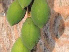 Today's inlet: Papayas.