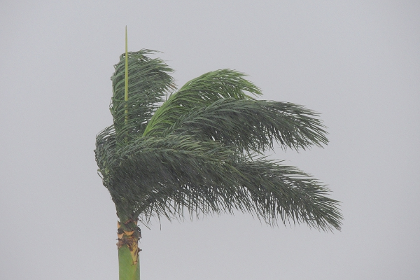 Palm tree on a stormy day