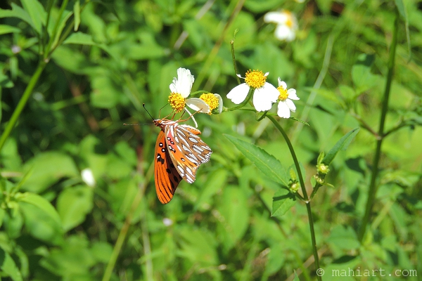 Orange butterfly hanging from white and yellow flowers