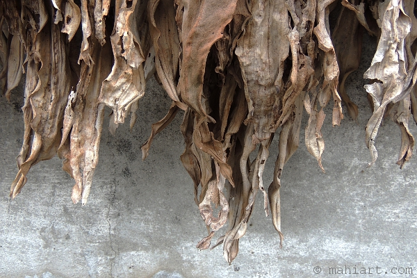 Dead leaves hanging down from a concrete planter.