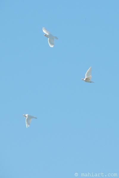 White doves in flight