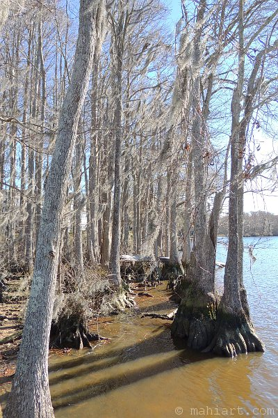 Cypress trees in winter along the water