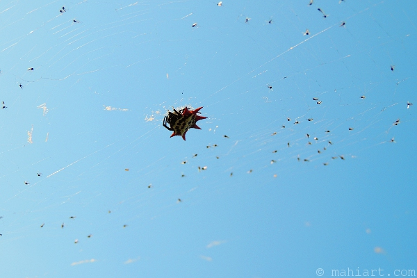 Spider in web with lots of flies