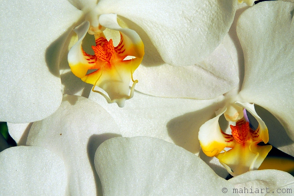Closeup of white orchids