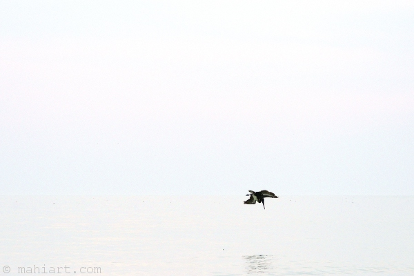 Pelican diving into the Gulf of Mexico