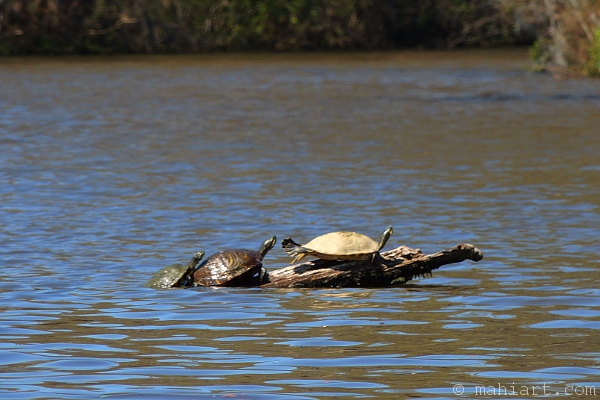 Three turtles piling up on a branch.