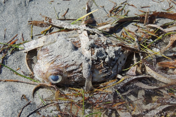 Puffer fish washed up on the beach.