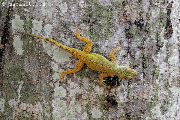 Golden greenish yellow lizard on tree bark