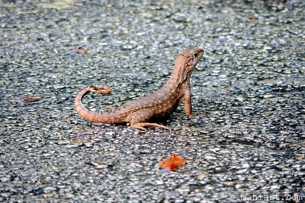 Curly tail lizard in parking lot
