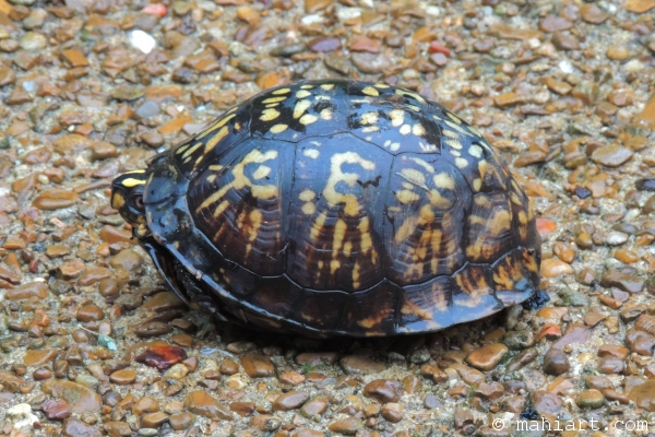 box turtle peeking out from shell