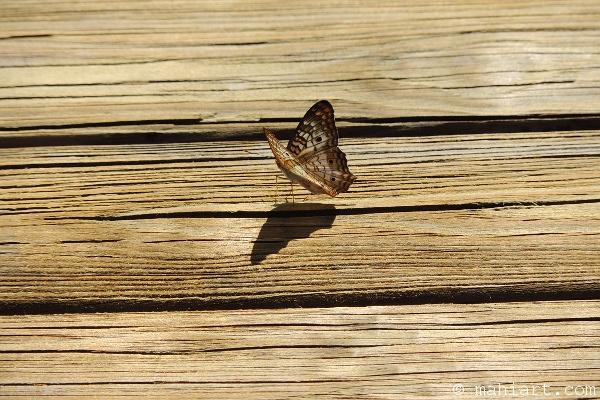 Butterfly sitting on dock.